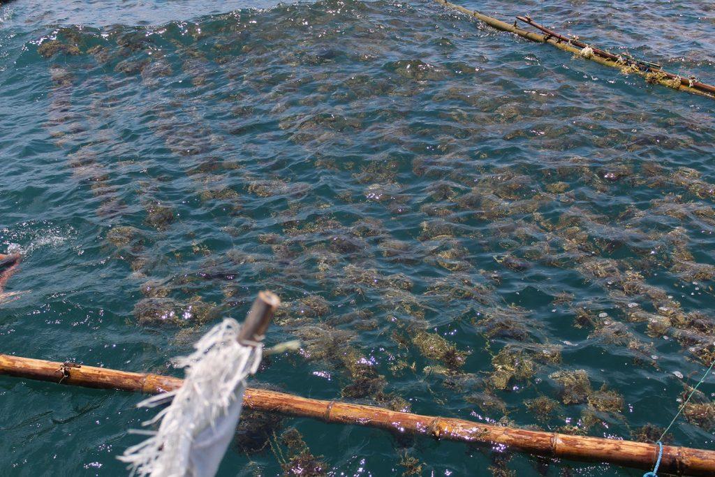 Kebun bibit rumput laut