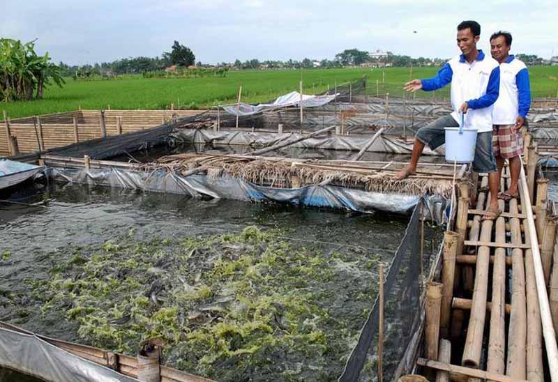 Peluang Dan Tantangan Dalam Budidaya Ikan Lele Dinas Kelautan