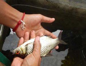 Ikan Bader Merah