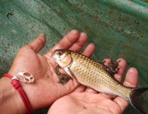 Ikan Bloso