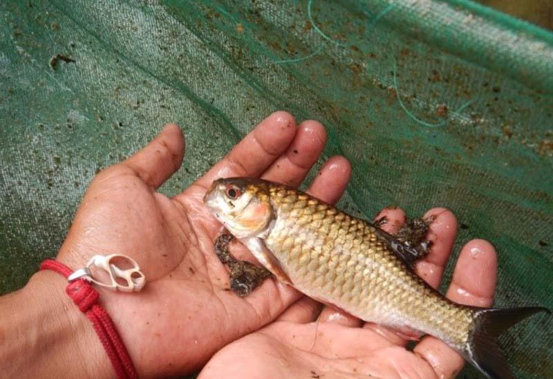 Potensi Ikan Spesifik Lokal Jawa Timur Sebagai Ikan Untuk Restocking